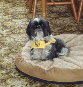 Tyra in her yellow Hearing Dogs coat