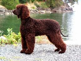 The Irish Water Spaniel