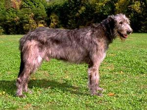 The Irish Wolfhound