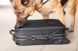 Sniffing dog checking luggage. (Credit: © Monika Wisniewska / Fotolia)