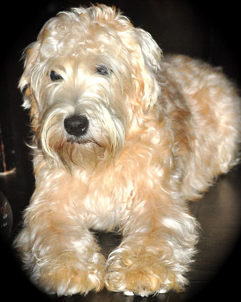 Dog Food Wheaten Terrier