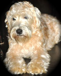 The Soft-coated Wheaten Terrier