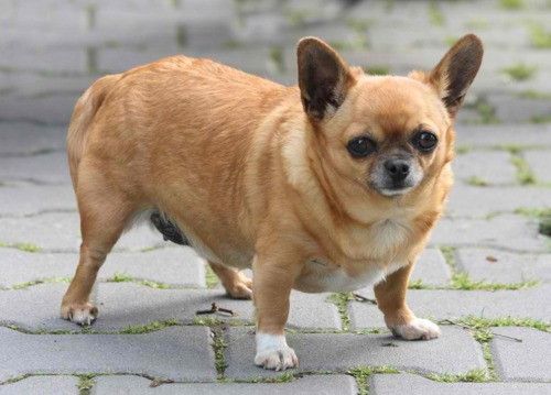 An obese Chihuahua
