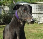 Murray is a Greyhound currently up for adoption through Greyhounds as Pets