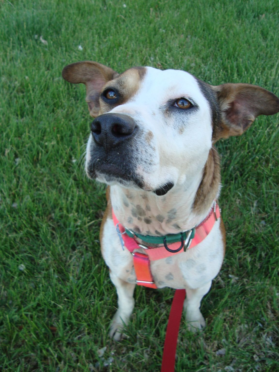 Clover, another fairly new arrival and her photo isn't on the website yet.  A cattle dog mix, this young girl has good manners on leash and loves to disembowel toys.  A rubber chicken and a small squeaky sheep were victims during our evening together.