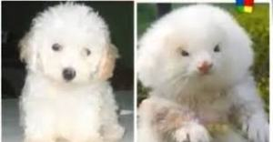 Poodle vs ferret
