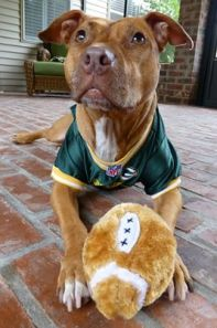 Ginger Girl is one of the ex-fighting Pit Bulls saved from Michael Vick's Bad Newz Kennels and rehabilitated.  She lives in a loving home. Pit bulls are often the subject of breed specific legislation; yet they are very sweet dogs capable of much affection and devotion.