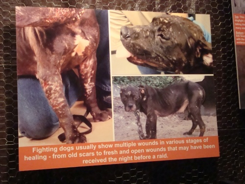 Dog Fighting The Voiceless Victims Doggymom Com