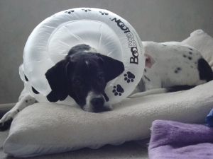Daisy rests on her bed wearing her BooBooLoon despite hating having her photo taken