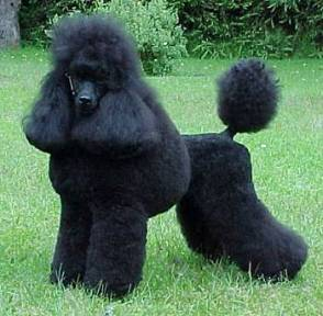 fluffy black poodle