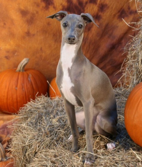 Greyhound with pumpkin