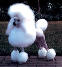 Groomed poodle