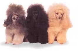 tricolourpoodles