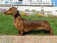 Dachshunds and other short breed dogs may be more difficult to train and control