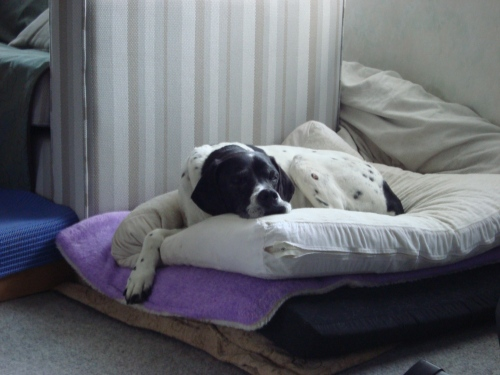 In Daisy's case, she now sleeps on a total of four mattresses, one of which is memory foam and acts as the 'boxed spring' layer.  I call this her Princess and the Pea look.