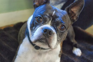 Tigger, a Boston Terrier, was one of the 13 study subjects