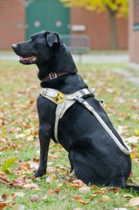 Guide dogs walk under constant tension. A well-fitting harness is extremely important for the animals (Photo: Michael Bernkopf/Vetmeduni Vienna)