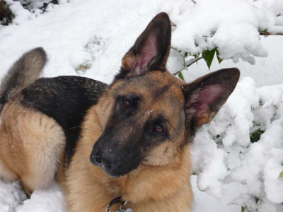 German Shepherd in Snow