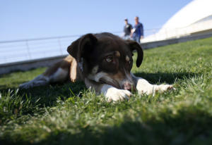 A dog rests outside of the Bolshoy Ice Dome before the USA versus Russia hockey game for the 2014 Winter Olympics in Sochi, Russia on Saturday, Feb. 15, 2014. (Nhat V. Meyer/Bay Area News Group) ( Nhat V. Meyer )