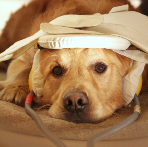 A dog lies still in the fMRI scanner, wearing earphones to pipe in sounds as part of the study. (Photo by Eniko Kubinyi)