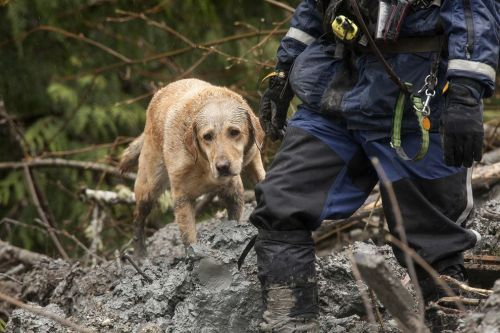 A search dog works at the Oso, Washington mudslide.  Photo by David Ryder, Getty