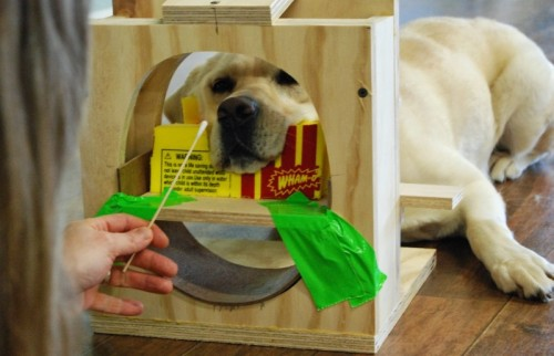 Kady, a lab involved in the study, shown training for the experiment in a mock-up fMRI scanner.  Photo by Helen Berns