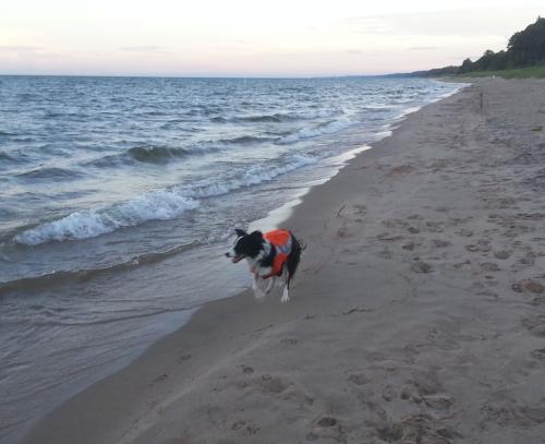 A Border Collie on beach patrol, photo by Elizabeth Alm
