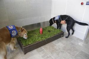 ervice dogs Jello, right, and Cricket sniff around the new Service Animal Relief Area at the Detroit Metropolitan Airport. (AP Photo/Detroit Free Press, Mandi Wright)