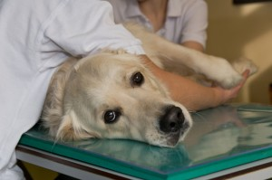 The newly developed antibody brings hope for dogs. (Photo by:  Michael Bernkopf / Vetmeduni Vienna)