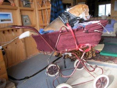 Teddy the Beagle in pram