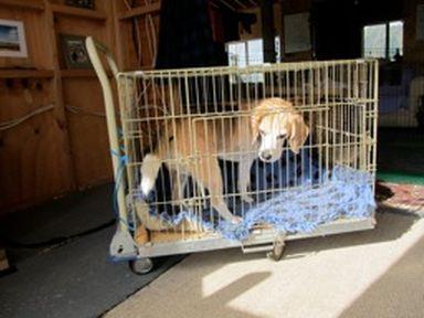 Teddy the Beagle on wheels2
