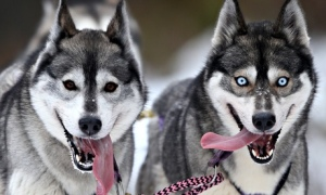 'The Blue Cross has seen a 700% increase in husky-type dogs being given up or abandoned over the past five years, with 78 taken in last year.' Photograph: Andrew Milligan/PA
