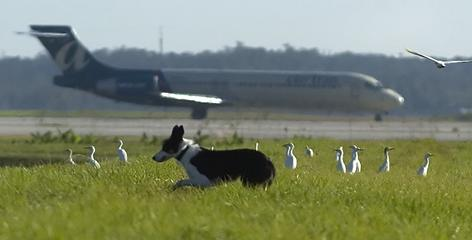 A Border Collie at the Southwest International Airport in Fort Myers, Fla. By Marc Beaudin, The (Ft. Myers, Fla.) News-Press