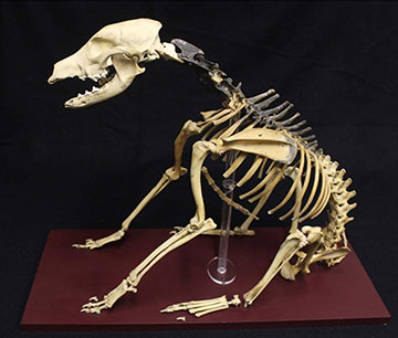 The skeleton of Hatch the dog, Photo by the University of Portsmouth
