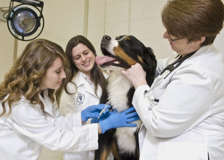 MSU veterinary medicine doctoral student Shauna Trichler (l) takes a blood sample from a patient with assistance from research resident Sandra Bulla (c) and Dr. Kari Lunsford. They are part of a College of Veterinary Medicine team studying the role of platelets in diagnosing canine cancer. Photo by: Tom Thompson