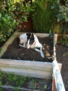 ...one Greyhound!  (Izzy heard the word 'bed' and decided she wanted an outdoor bed for summer)