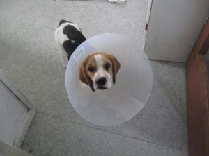Willow in her Elizabethan collar (which brother Freddie believes makes her into a scary monster)