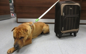 The Shar Pei cross, Kai, along with his suitcase (photo by SPCA/PA)