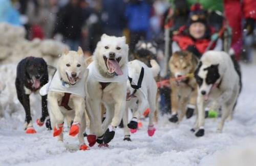 Kelly Maixner's team charges out of the chute at the 2015 ceremonial start of the Iditarod Trail Sled Dog race in downtown Anchorage, Alaska March 7, 2015. Credit: Reuters/Mark Meyer
