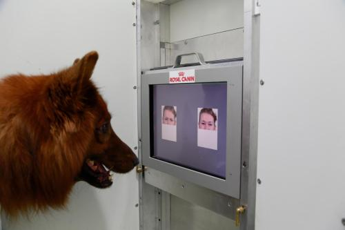 This is the experimental set-up used to test whether dogs can discriminate emotional expressions of human faces.  Photo by Anjuli Barber, Messerli Research Institute