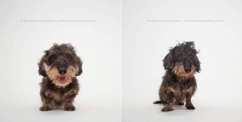 Henri-Dry-Dog-Wet-Dog