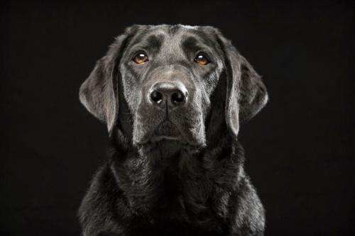 "In this Oct. 2013 photo provided by Fred Levy, a black Labrador retriever named Denver poses in Levy's studio in Maynard, Mass. Levy, a pet photographer, first heard about ""Black Dog Syndrome"" in a 2013 conversation at a dog park. It's a disputed theory that black dogs are the last to get adopted at shelters, perhaps because of superstition or a perception that they're aggressive. The idea inspired Levy to take up a photo project on their behalf. (Fred Levy via AP)"