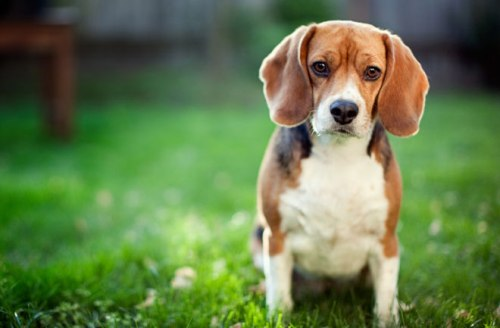 Dogs exposed to garden and lawn chemicals may have a higher risk of bladder cancer. iStockPhoto