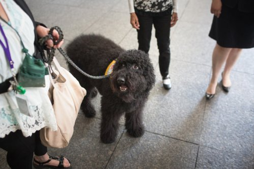 The appearance on Tuesday of Paz, a therapy dog, in a New York City courtroom to help an adult witness testify was said to be unprecedented. Credit Kevin Hagen for The New York Times