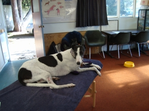 "Izzy relaxes on my massage table during my ""Learn Dog Massage"" workshop"