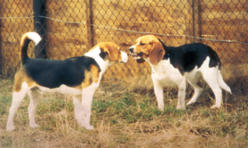 wo beagles from the group of dogs studied. Communication by means of postures plays a central role in identifying dominance relationships between two dogs. The display of a lowered posture during an interaction by Zwart (the beagle on the right) is an acknowledgement of the higher status of Witband (left), who adopts a higher posture. Both dogs display mutual aggression (Witband by staring fixedly and Zwart by baring his teeth), which was found not to be a suitable measure of dominance. Photo: Joanne van der Borg.