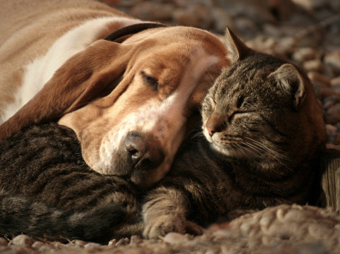 Relaxed cat and dog. While it is increasingly recognized that cats are more social and more capable of shared relationships than traditionally thought, this latest research shows that adult cats appear to be more autonomous -- even in their social relationships -- and not necessarily dependent on others to provide a sense of protection. Credit: © bodza2 / Fotolia
