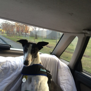 Izzy the Greyhound riding in the car