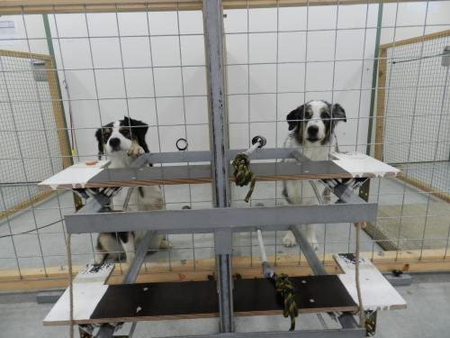 The donor dog (right) can pull a tray and donate food to the receiver-dog (left). (Photo: Mylène Quervel-Chaumette/Vetmeduni Vienna)