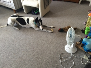 Greyhound in front of fan